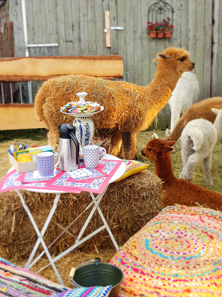 Alpaca high tea